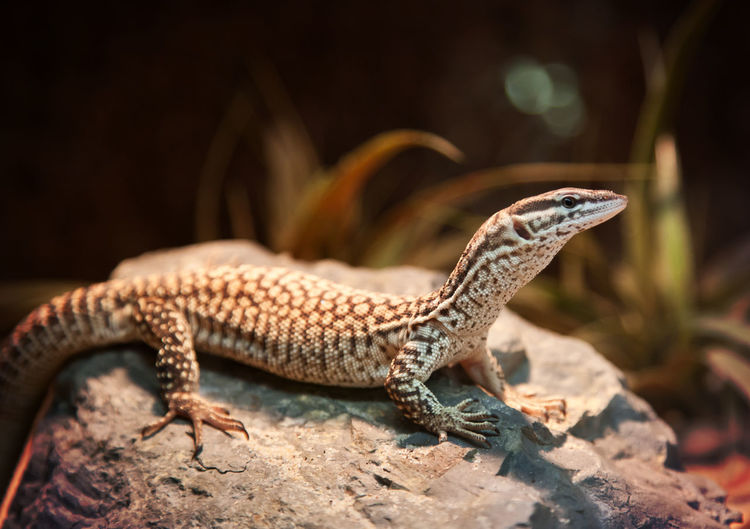 Close-up of spiny-tailed monitor on rock at zoo