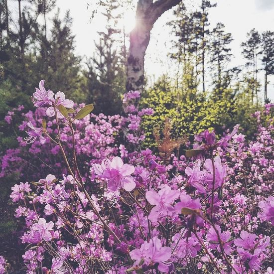 багульник багульник , Забайкалье Flower Nature Tree Growth Fragility Beauty In Nature Purple Pink Color Blossom Outdoors Day Plant Freshness Tranquility Springtime No People Sky Flower Head Close-up Nature Beauty In Nature