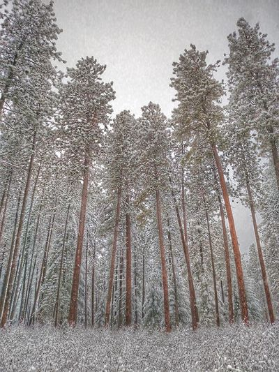 Among The Tall Things... JustIdaho Trees Trees And Sky Coeur D'Alene Solitude Nature Snow Late Autumn Winter Ihavethisthingwithtrees