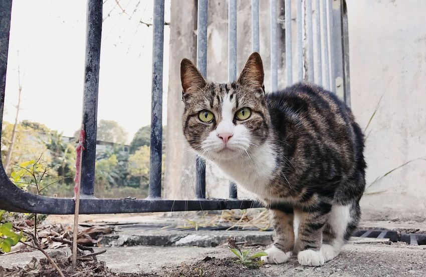 Domestic Cat Pets Domestic Animals Mammal Looking At Camera Animal Themes Portrait Feline One Animal No People Day Outdoors Nature