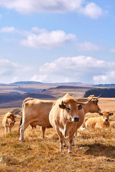 Cows in Aubrac, France. Aubrac Cows!!! France France Photos France Trip France🇫🇷 Lozère  Animal Themes Cow Cows Cows Grazing Cows In A Field Cows🐮 Domestic Animals Farm Animal Field France 🇫🇷 Francetourism Francetourisme Grass Landscape Nature No People Outdoors Sky