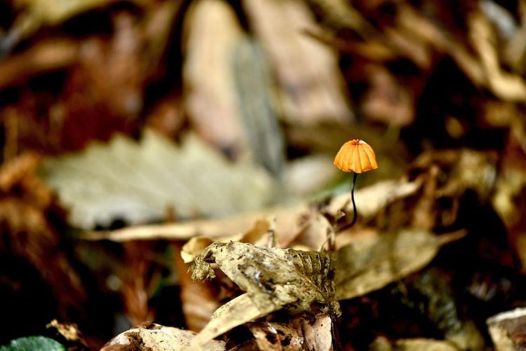 ハナオチバタケ Marasmius pulcherripes Peck 落ち葉を食べるキノコのためオチバの文字が使われているそうです 森の掃除人と呼ばれることも 落ち葉の季節感を感じるキノコ 写真の色以外にも紫っぽいのもあります #ハナオチバタケ #MarasmiuspulcherripesPeck #キシメジ科  #ホウライタケ属 #夏から秋 #広葉樹 #針葉樹 #落葉 #傘 #鐘形 #まんじゅう形 #黄土色 #日本 #中国 #台湾 #北アメリカ #分布 #森の分解者 #森の掃除人 #三軒茶屋 #イタリアン #レストラン #ペペロッソ #ランチタイム #ランチデート #贅沢ランチ #パスタランチ #昼飲み #昼からビール #昼からお酒 Funghi