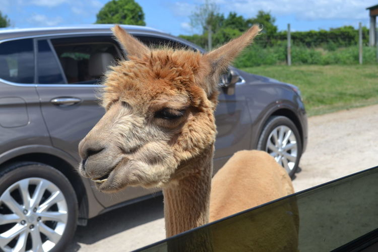 African Safari Wildlife Park Animal Themes Car Close-up Focus On Foreground Mammal Nature No People Ohio One Animal Outdoors Sky