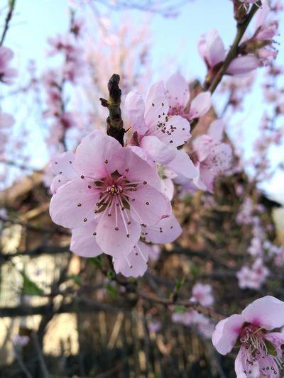 flower Flower Head Flower Tree Branch Springtime Pink Color Plum Blossom Stamen Petal Blossom