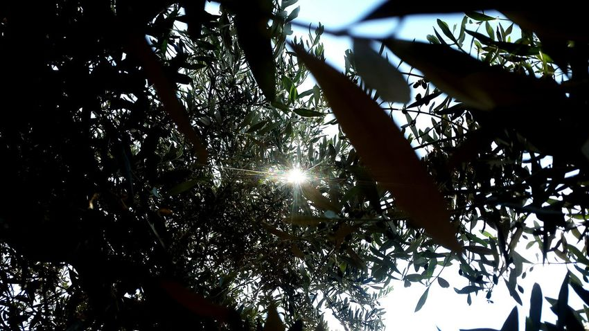 Sun Sun Rays Sun And Olive Branshes Beautiful Nature Beautiful Nature Nature Photography Nature Collection ❤❤ ☉☉☉ ☉ ☉🌞🌞☉ ☉☉