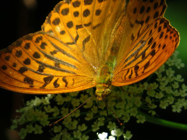 Argynnis Paphia Animal Themes Beauty In Nature Butterfly Close-up Flower Flower Head Fragility Insect Light And Shadow Nature Orange Color Outdoors