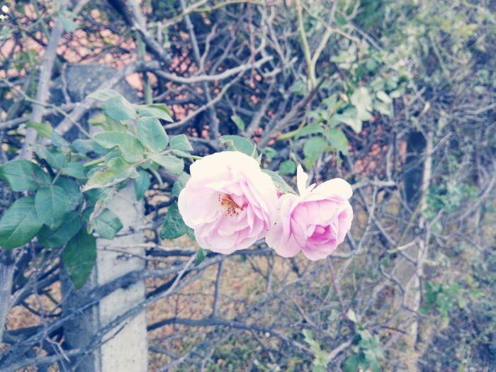 Pink Nature Pink Rose Pink Flower Green Eco Peace First Eyeem Photo