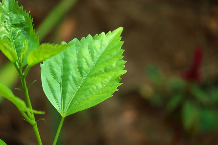 Closeup of beautiful zig zag pattern from green leaf of hibiscus plant in garden