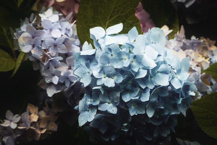 Close-up of purple hydrangea on plant