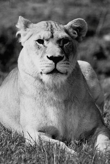 Shades Of Grey Lions Jungle VIP