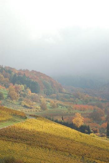 Atmosphrere Autumligh Autumn Blackforest Colours First Eyeem Photo Light And Shadow Müllheim Schwarzweiß View Wine