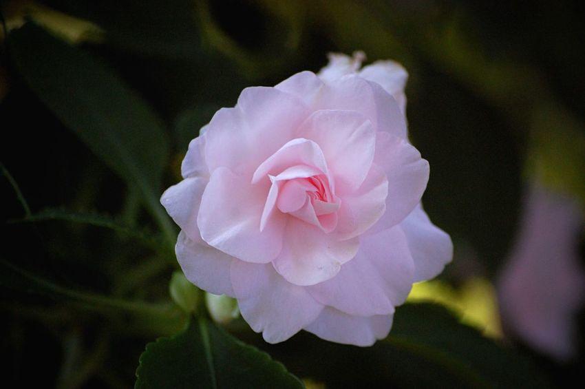 Outdoors Nature Garden Flowers,Plants & Garden Pink Rose Flower Flowers Plants Roses Pink Pastel Power