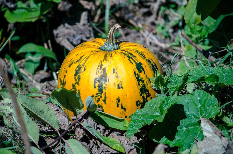 Close-up of yellow pumpkin