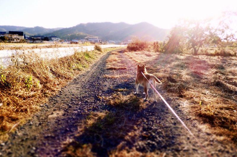 写真とは全く関係ないけど、外では風が轟々唸ってる。おやすみ。 夕陽に向かって立つあんず しばいぬ Shibainu Anzu