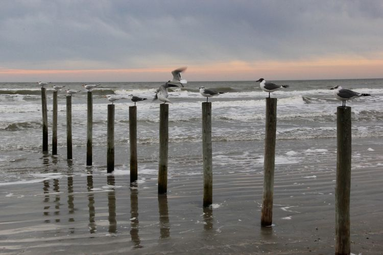 Seagulls Perching On Pole At Shore Against Cloudy Sky During Sunset