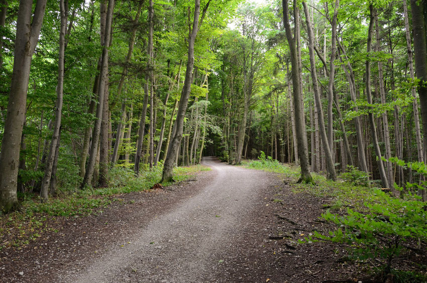 Gravel road through forest avenue Gray Outdoors Travel Running Tunnel Avenue Forest Landscape Trees Green Nature Path Road Walking Gravel Tree Forest Tree Trunk Bamboo - Plant Bamboo Grove WoodLand Green Color Treelined Pathway Walkway Woods Empty Road The Way Forward Long