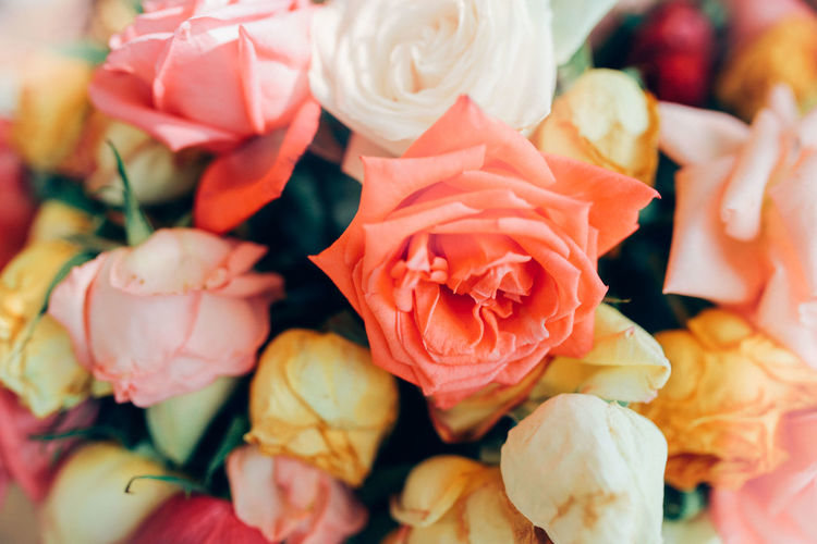 colorfully roses. Flowering Plant Flower Close-up Freshness Vulnerability  Plant Rosé Beauty In Nature No People Rose - Flower Indoors  Selective Focus Flower Head Nature Pink Color Backgrounds