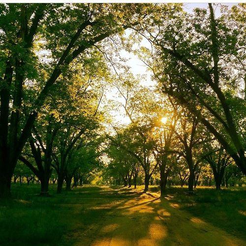 Beautiful morning in the pecan grove :)