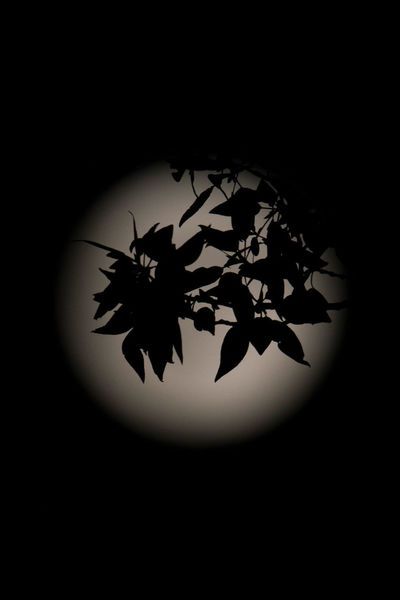 Moon Nightphotography Tree Beauty In Nature Black Background Close-up Flower Freshness Fullmoon Indoors  Leaves Maple Leaf Moonlight Nature Night No People Studio Shot