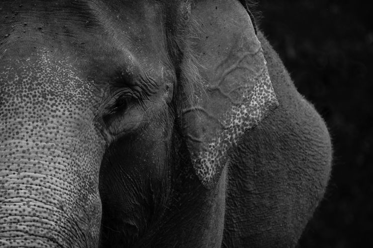 Animal Body Part Animal Themes Animal Wildlife Animals In The Wild Asian Elephant Elephant Mammal Nature No People One Animal Safari Animals