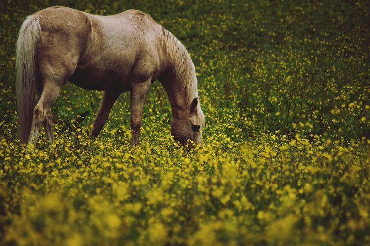 Breakfast time EyeEm Selects Rural Scene Yellow Grass Grazing Livestock Herbivorous Horse Pony Stable Pasture Growing