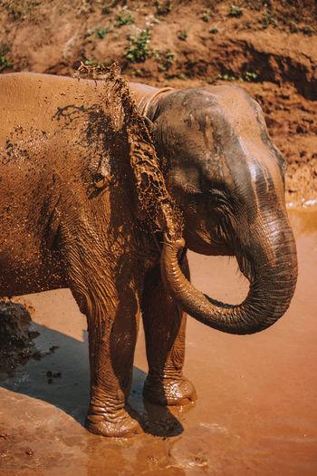 Elephant bath in the mud