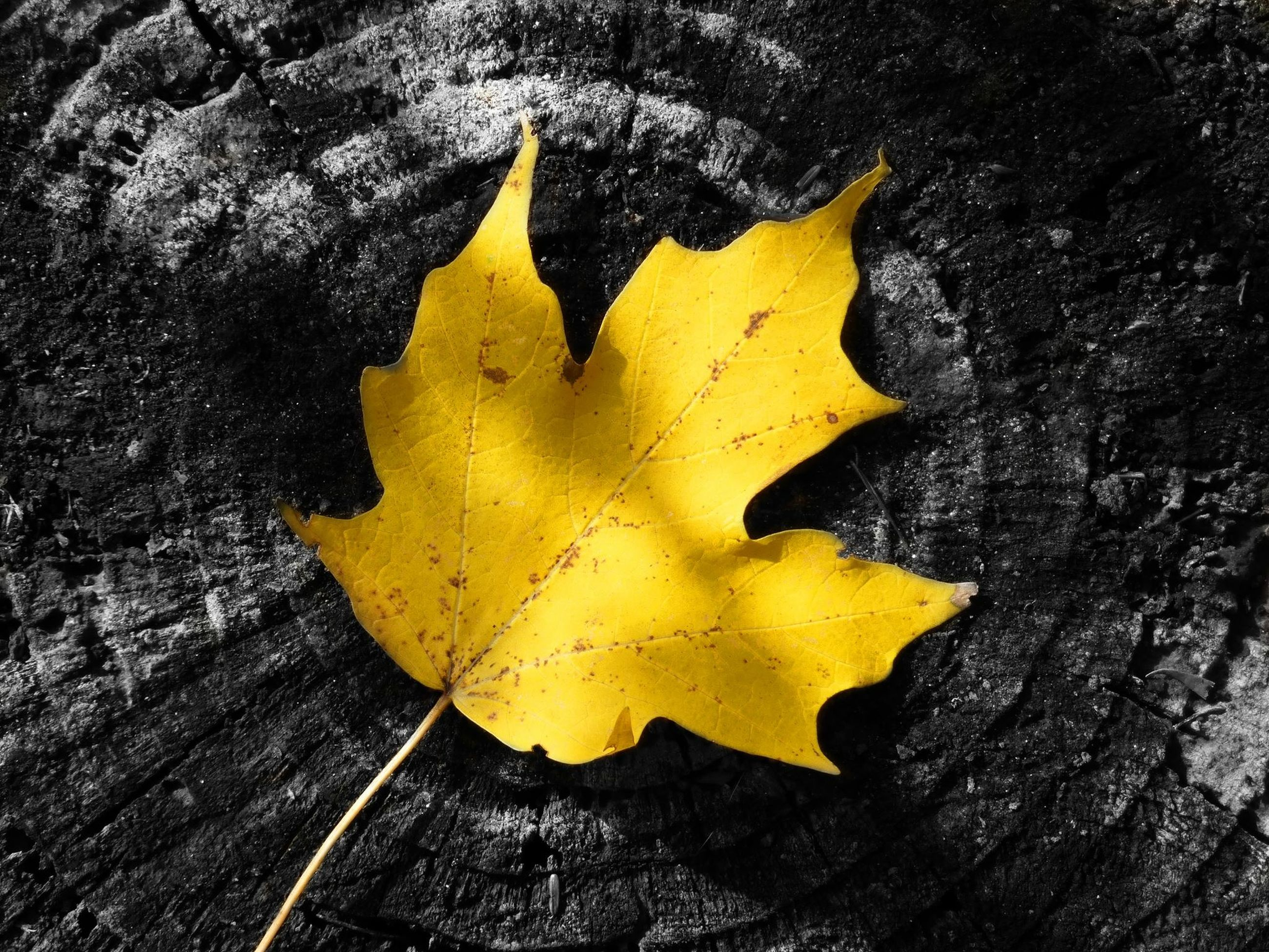 autumn, yellow, leaf, change, dry, close-up, maple leaf, season, leaf vein, natural pattern, natural condition, fallen, textured, high angle view, leaves, nature, single object, no people, fragility, pattern