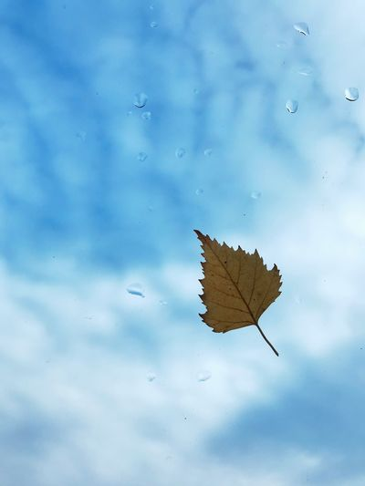 Close-up of wet maple leaf floating on water