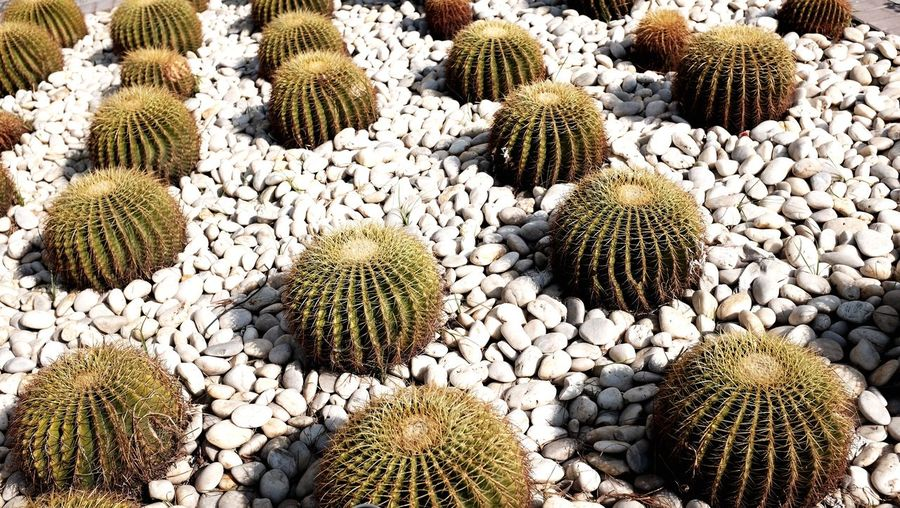 High angle view of barrel cactuses on stones field