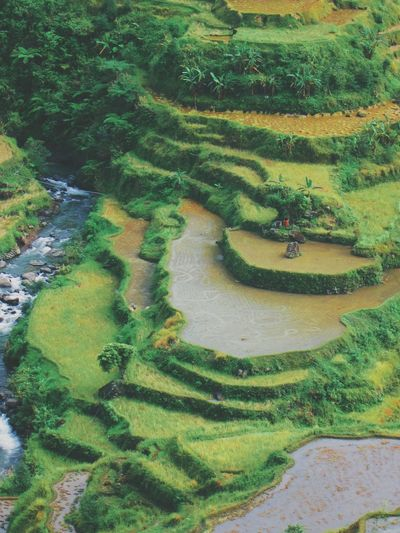 Banaue rice