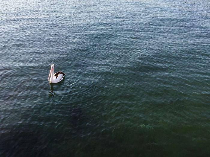 Pelican Water Bird Nature