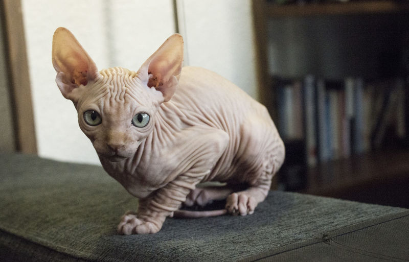 Portrait Of Sphynx Hairless Cat Sitting On Sofa At Home