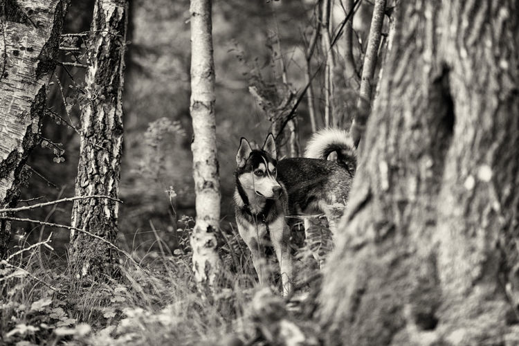 Monochrome Siberian Husky Pet X-T1 FUJIFILM X-T1 Kungshamn Sweden Blackandwhite Taking Photos Silver The Husky