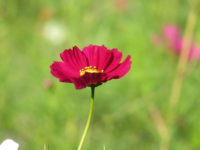Flower コスモス 秋桜 Cosmos 秋の花 花 Cosmos Flower