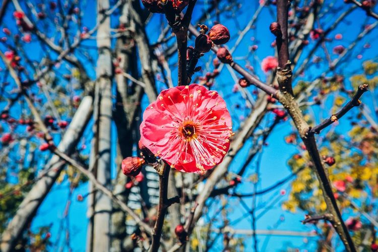 Flowers Pink Beauty In Nature Beautiful Nature Nature Naturelovers EyeEm Nature Lover EyeEm Best Shots Flower Head Plum Blossom Ume Blossom Taking Photos Outdoors Blooming Freshness Hello World Fine Art Yeah Springtime! Winter Atmosphere Getting Inspired Colour Of Life Botany Colors Simple Beauty