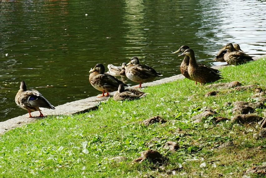Duck Family Duck Pond Animal No People Nature Duck Lake Animals In The Wild Pond
