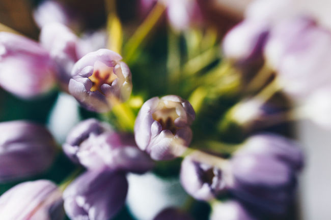 Double Exposure Tulips Beauty In Nature Close-up Day Flower Flower Bouquet  Flower Head Flowers On Table Fragility Freshness Growth Nature No People Outdoors Petal Plant Purple Selective Focus Tulip Tulips Flowers Tulips🌷