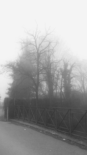 Fog Figgy Trees Tree_collection  Trees In The Mist Silhouettes Silhouettes Of Trees Spooky Spooky Atmosphere Spooky Trees Showcase March