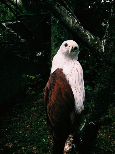 Portrait Of An Eagle Against Tree Trunks
