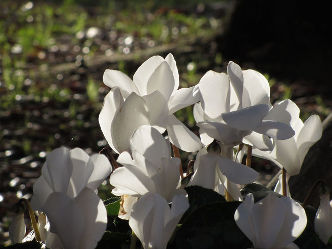 Backlits white cyclamen flowers on dark background Backlight Dark Elegant Gardening Romance Sunlight Background Backlit Bloom Blooming Blossom Bud Clump Cyclamen Cyclamineae Essence Flora Flower Garden Leaf Perfume Petal Pretty Scent White