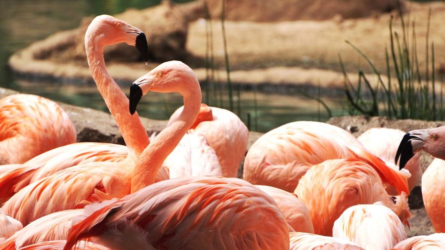 Flamingos by lake
