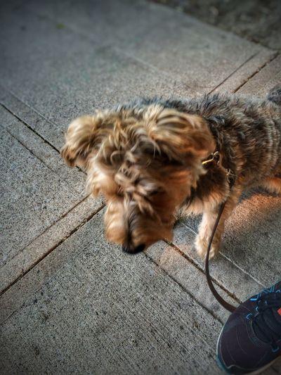 Pets Corner Waiting Ilovemydog Bartleby Dog Yorkie Camera+ Snapseed