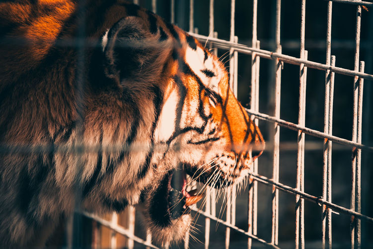 Close-up of a tiger in a cage