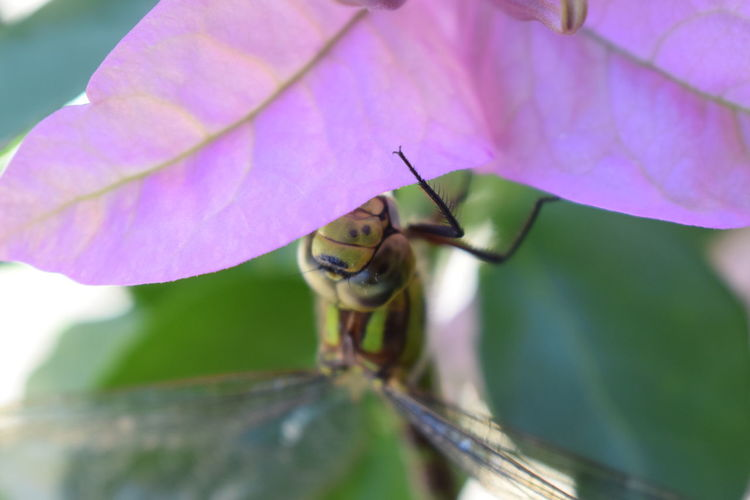 Animals Animal Bougainvillea SansFilter Nikon Tamron Fauna And Flora Green Color Pink Color Flower Leaf Insect Close-up Animal Themes Petal Dragonfly Pollen