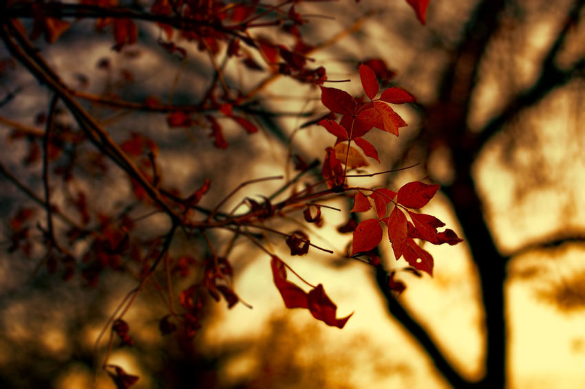 whispers Red Beauty In Nature No People Outdoors Tree Branch Close-up Fall Colors Cozy Freshness Fall Beauty Leaf Day Dark Beauty In Nature