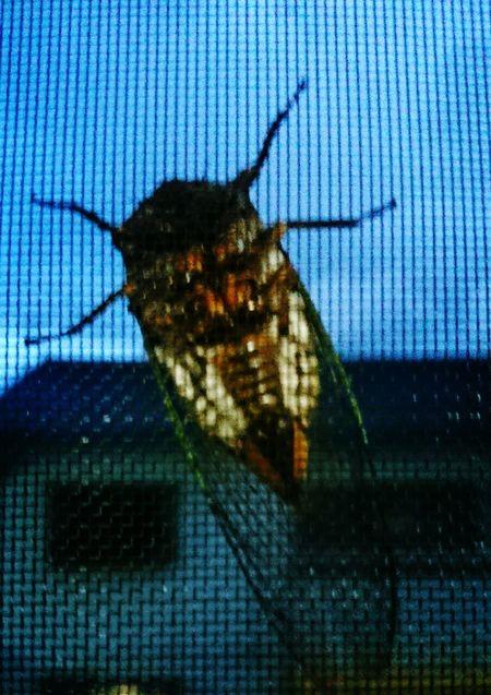昨日の夜から風が強く、蝉が我が家の網戸で待避 蝉
