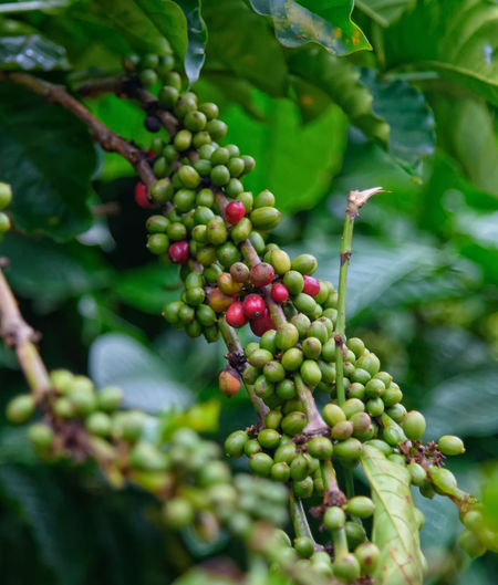 Coffee Bean EyeEmNewHere Kalpetta Beauty In Nature Berry Fruit Close-up Day Focus On Foreground Food Food And Drink Freshness Fruit Green Color Growth Healthy Eating Kerala Leaf Nature No People Outdoors Plant Plant Part Plantation Raw Coffee Bean Selective Focus Tree