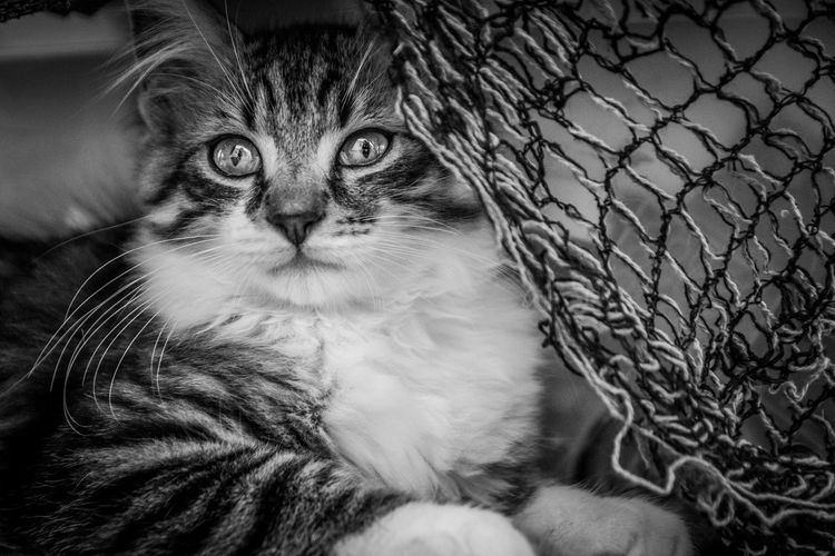 Portrait of cat looking at chainlink fence