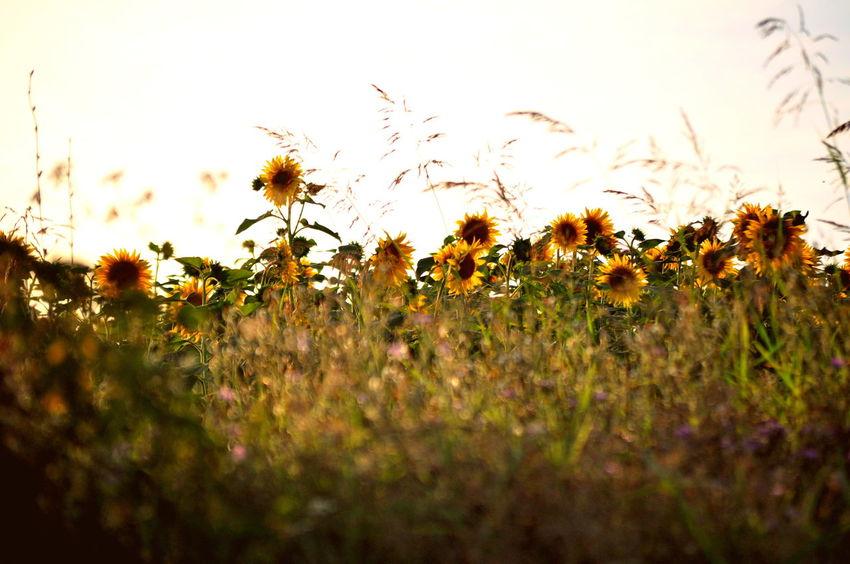 Field Flower Landscape Nature Outdoors Plant Sunflower Sunset Travel Yellow