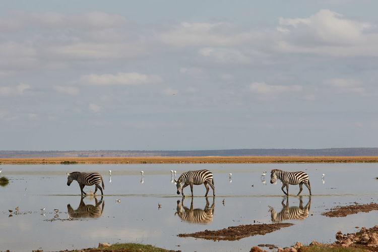 Three zebras walking through the water